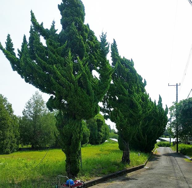 立ち木の伐採前の写真